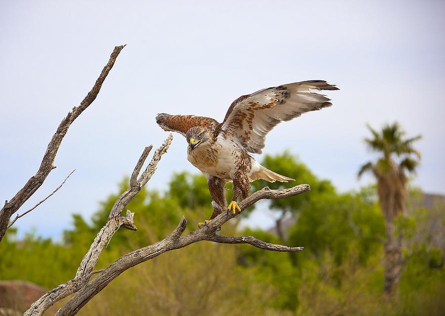 Birds Photograph - Ferriginous Hawk by Dan Nelson