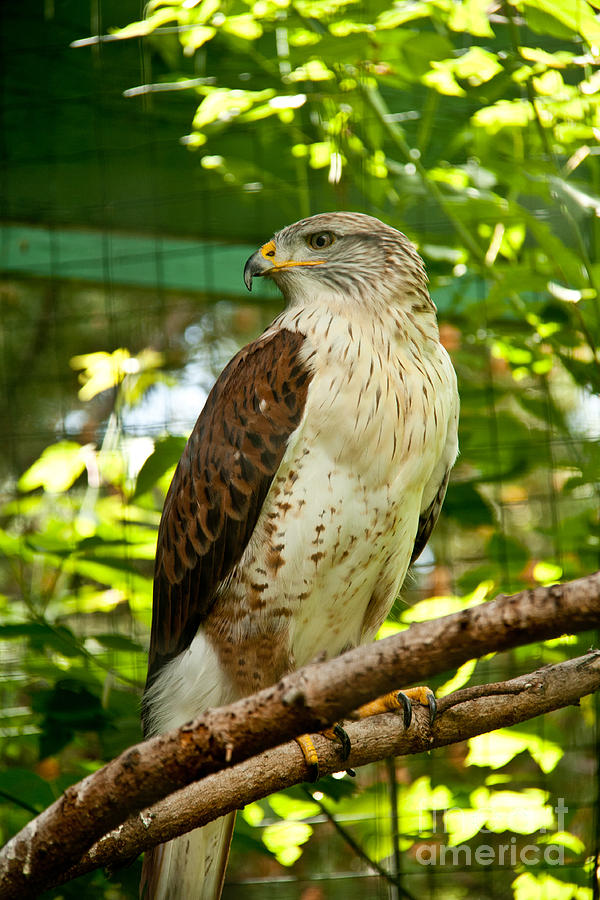 Bird Photograph - Ferruginous Hawk by Rachel Duchesne