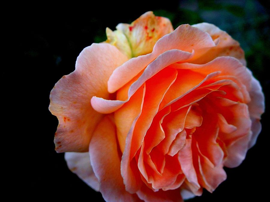 Horizontal Photograph - Feuerrose by Photo by Ela2007