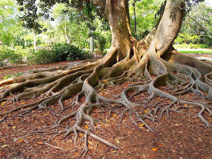 Ficus Tree Roots Photograph By Leontine Vandermeer