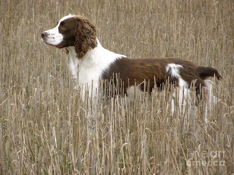 Field Bred Springer Spaniel
