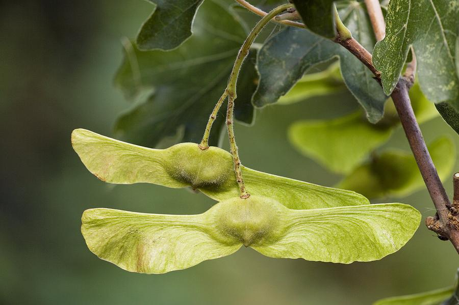tree seed helicopter with Field Maple Acer C Estre Fruits Bob Gibbons on Seeds What Time Is It In Nature moreover HowToID likewise Deciduous Trees further Ahh To Be Young further Immature Green Maple Seeds Hanging On 515092858.