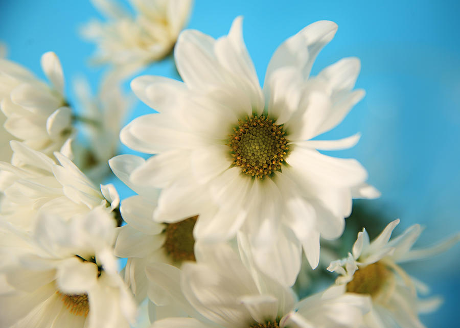 White Daisies Photograph - Field Of Daisies by Mary Broughton