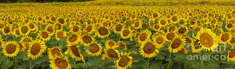 Flower Photograph - Field Of Domestic Sunflowers by Kenneth M Highfill and Photo Researchers