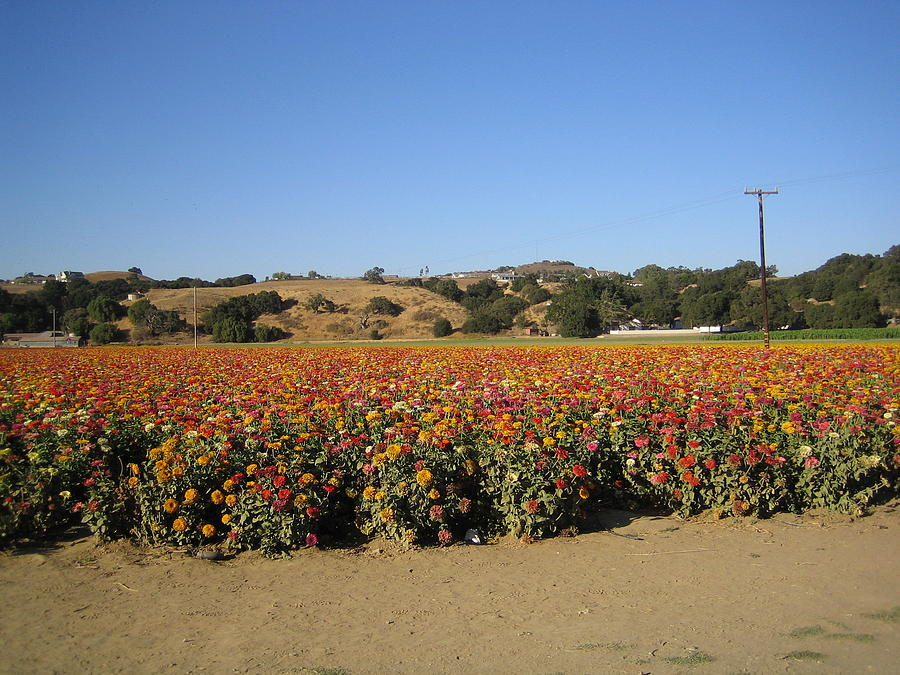 Field of Flowers II  Solvang California by John Shiron