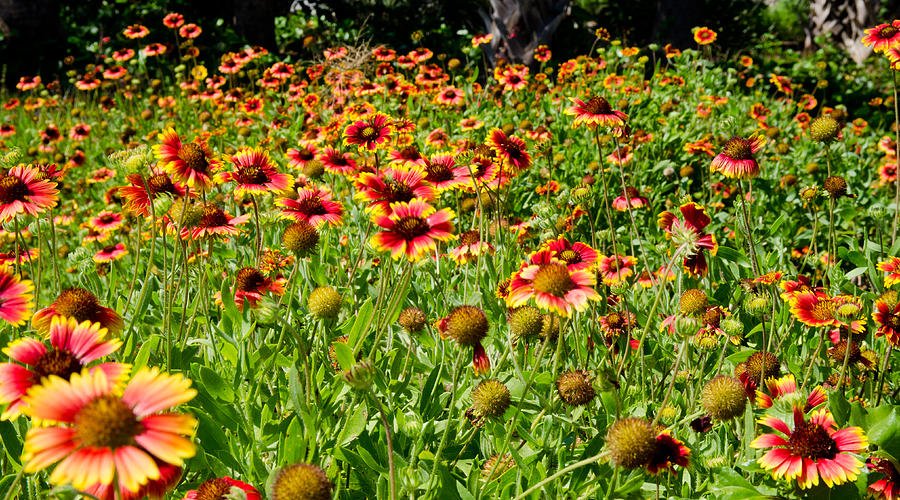 Botanical Gardens Photograph - Field Of Flowers by Mike Rivera