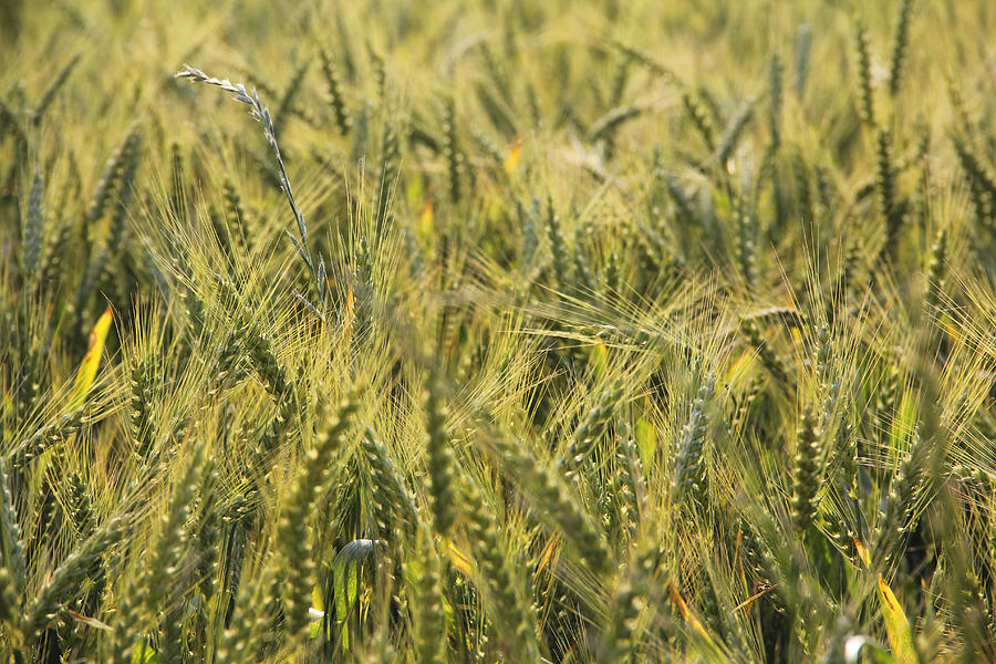 Wheat Photograph - Field of Green by Mike McGlothlen