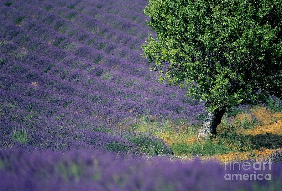 Touristic Photograph - Field Of Lavender by Bernard Jaubert