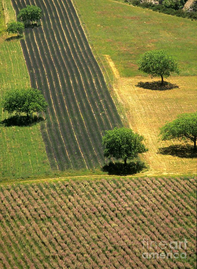 Alternative Photograph - Field Of Lavender. Provence by Bernard Jaubert