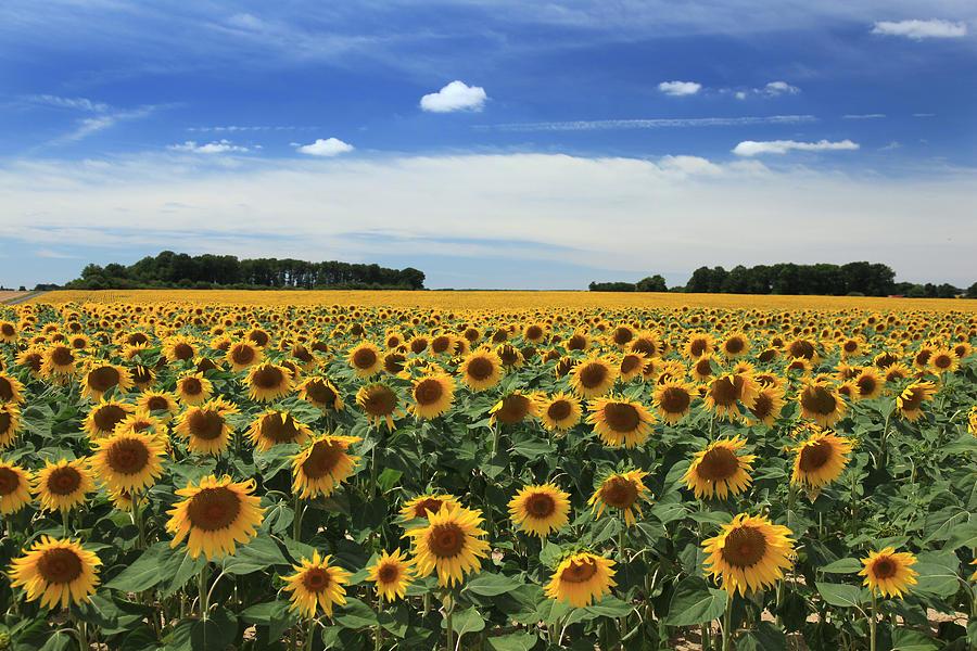 Sunflower Photograph - Field Of Sunflowers France by Pauline Cutler