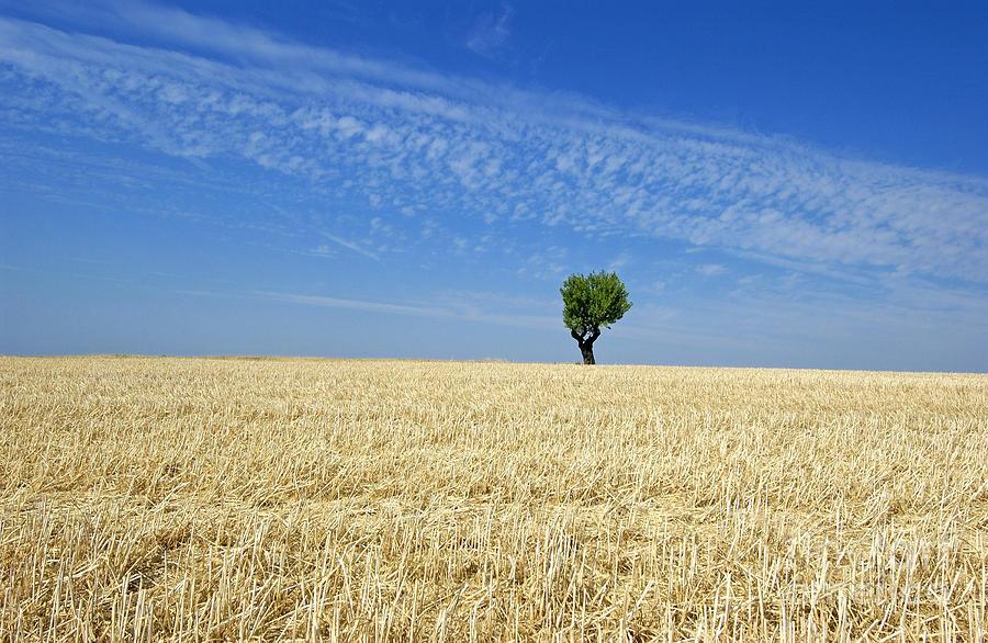 Tree Photograph - Field Of Wheat In Provence by Bernard Jaubert