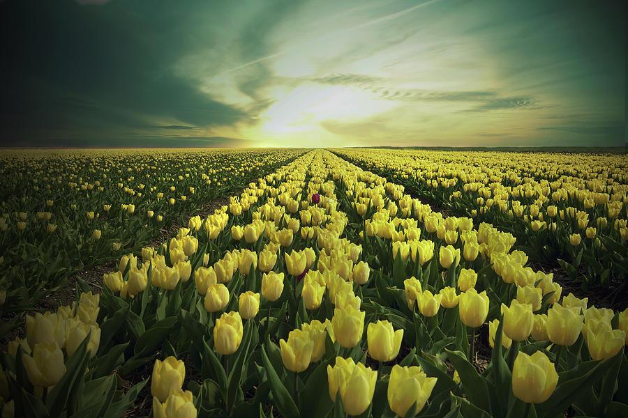 Horizontal Photograph - Field Of Yellow Tulips by Maik Keizer