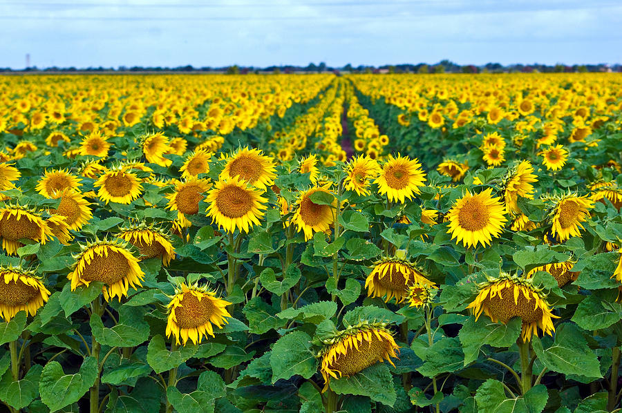 Horizontal Photograph - Field With Sunflowers In France by Www.bluemoonfotografie.nl