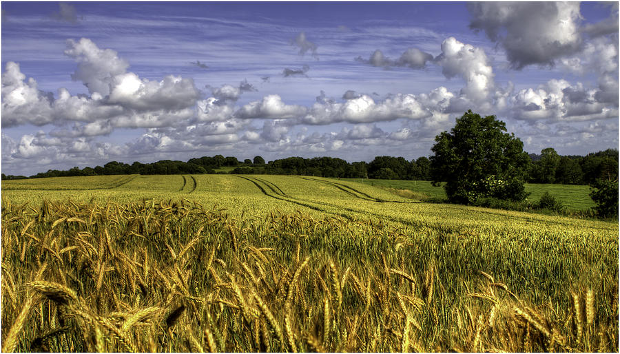 Fields Of Gold Photograph by Nigel Jones