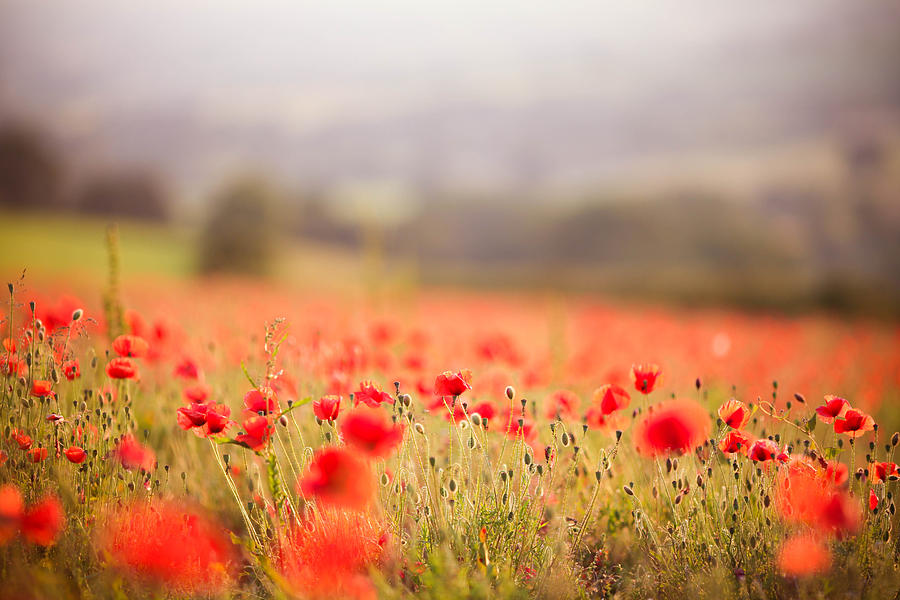 Horizontal Photograph - Fields Of Wild Poppies by Olivia Bell Photography