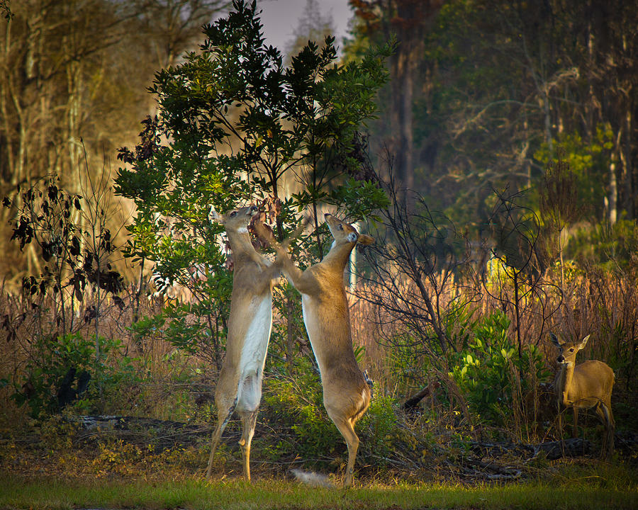 Okefenokee Swamp Photograph - Fight Club by Christopher Mobley