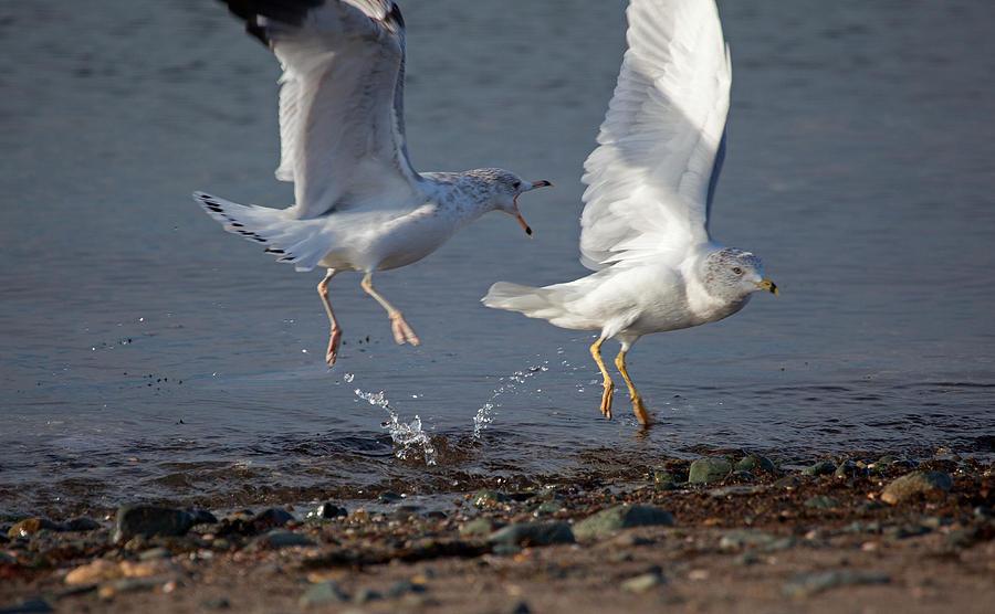 Seagulls Photograph - Fighting Gulls by Karol Livote