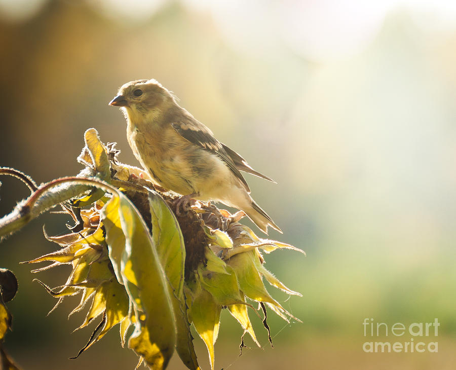 Goldfinch Photograph - Finch Aglow by Cheryl Baxter