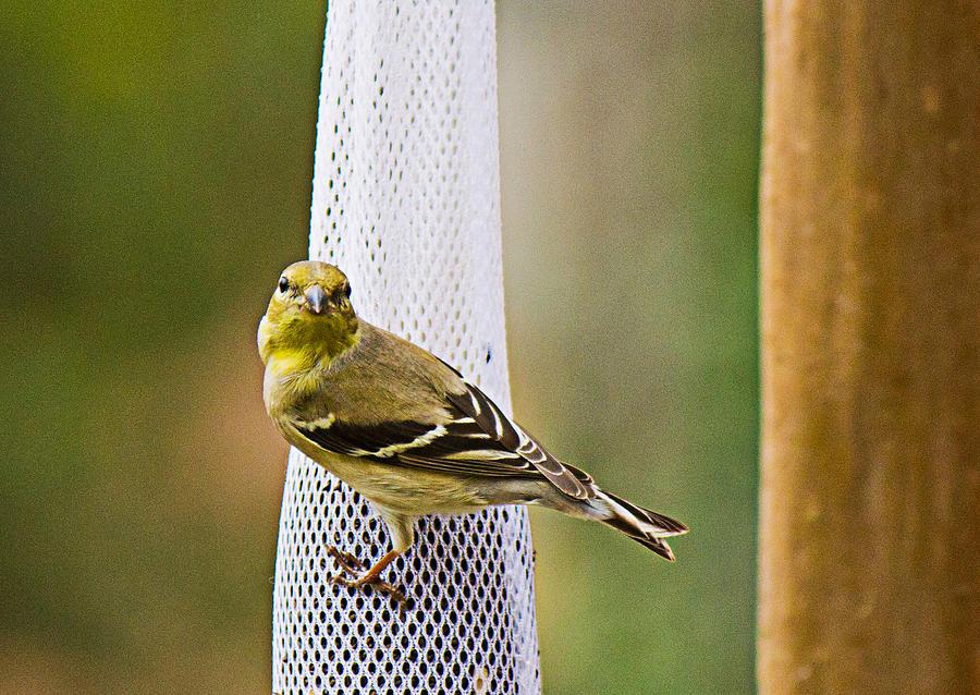 Finch Photograph - Finch by Barry Jones