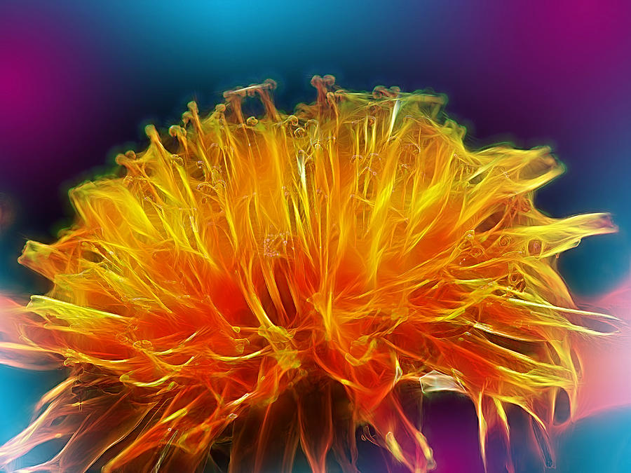 Dandelion Photograph - Fire Woven Dandelion by Bill Tiepelman