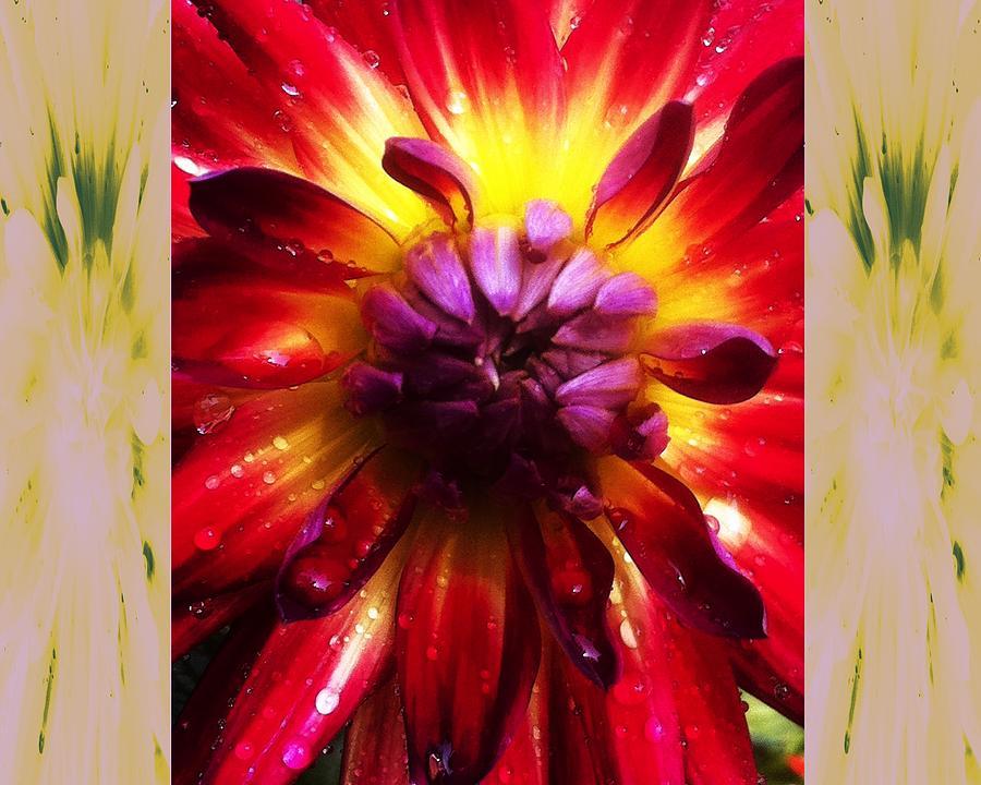 Dahlias Photograph - Firecracker Dahlia... by Rene Crystal
