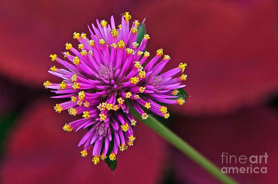 Globe Amaranth Photograph - Fireworks Flower by Byron Varvarigos