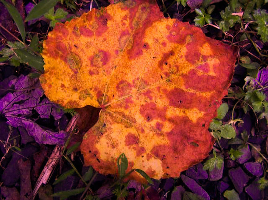 Leaf Photograph - First Sign Of Autumn by Gordon H Rohrbaugh Jr