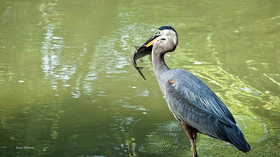 Great Blue Heron Pyrography - Fish Dinner by Susi Stroud