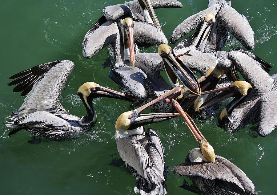 Pelicans Photograph - Fish Fight by Paulette Thomas