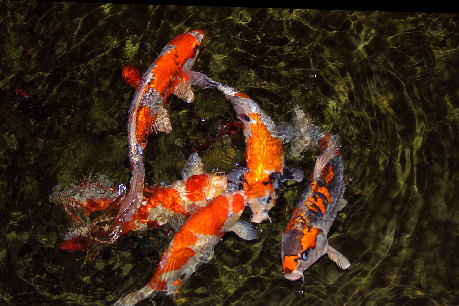 Koi Photograph - Fish Game by Viktor Savchenko