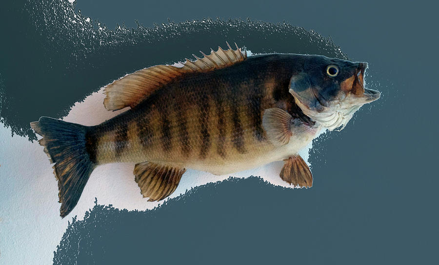 Animals Photograph - Fish Mount Set 10 B by Thomas Woolworth