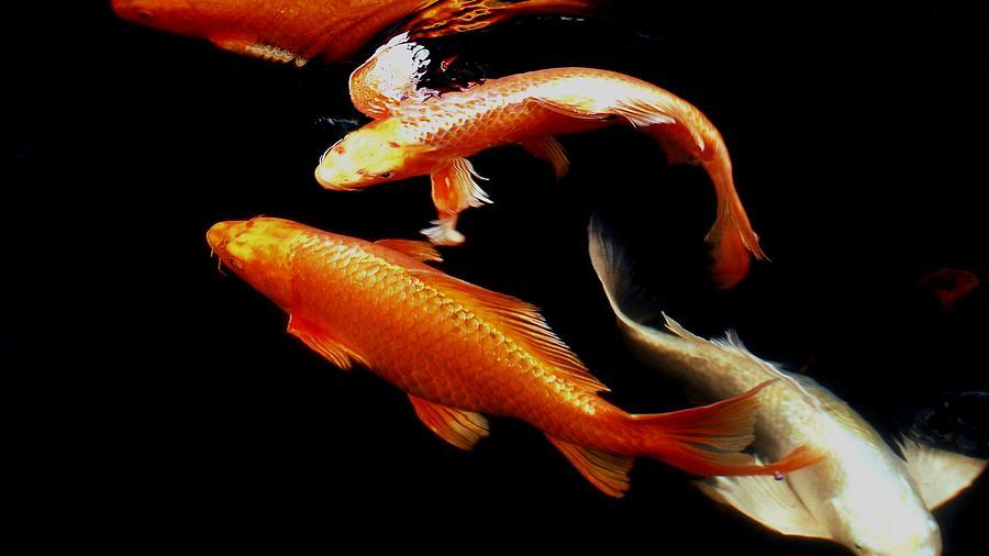 Koi Photograph - Fish Swimming by Don Mann