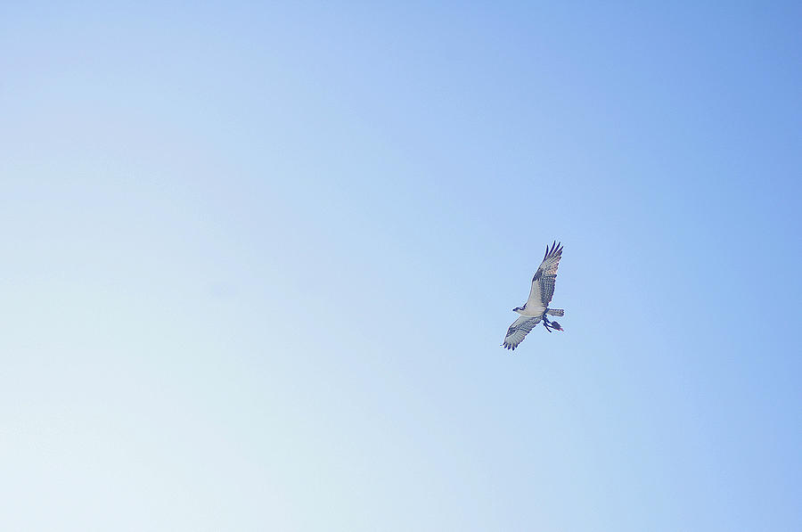 Horizontal Photograph - Fisher Eagle In Flight by Fabian Jurados Photography.