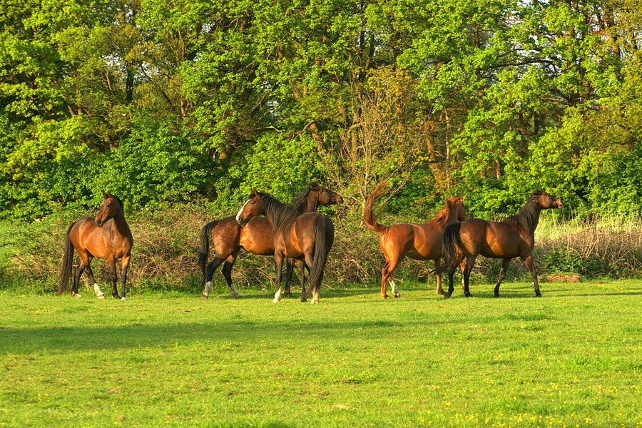 Five Horses In Field Photograph by Bob Van Den Berg Photography