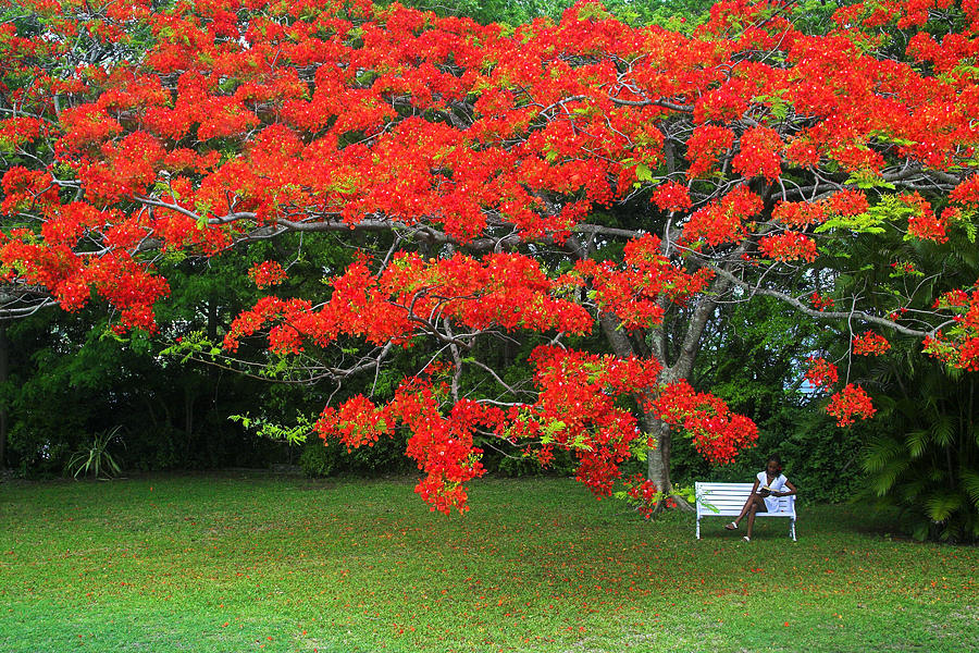 Flamboyant Tree- St Lucia by Chester Williams