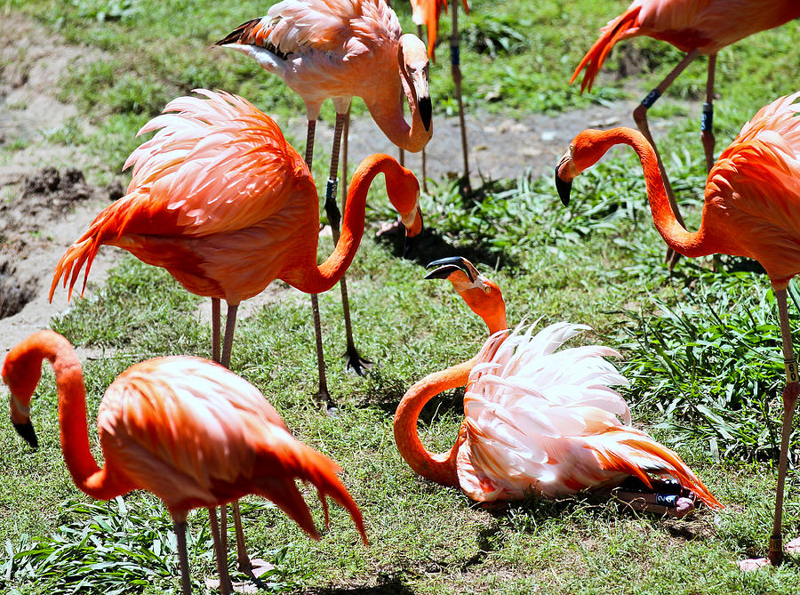 Flamingo Photograph - Flamingo Face-off by Elizabeth Hart