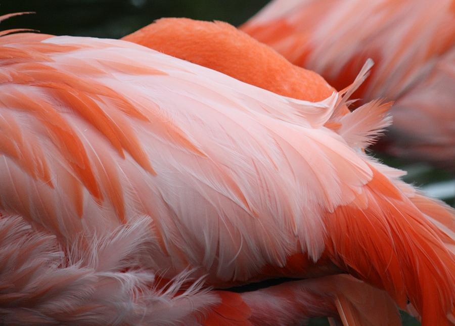 Flamingo Photograph - Flamingo Feathers by Andrea  OConnell