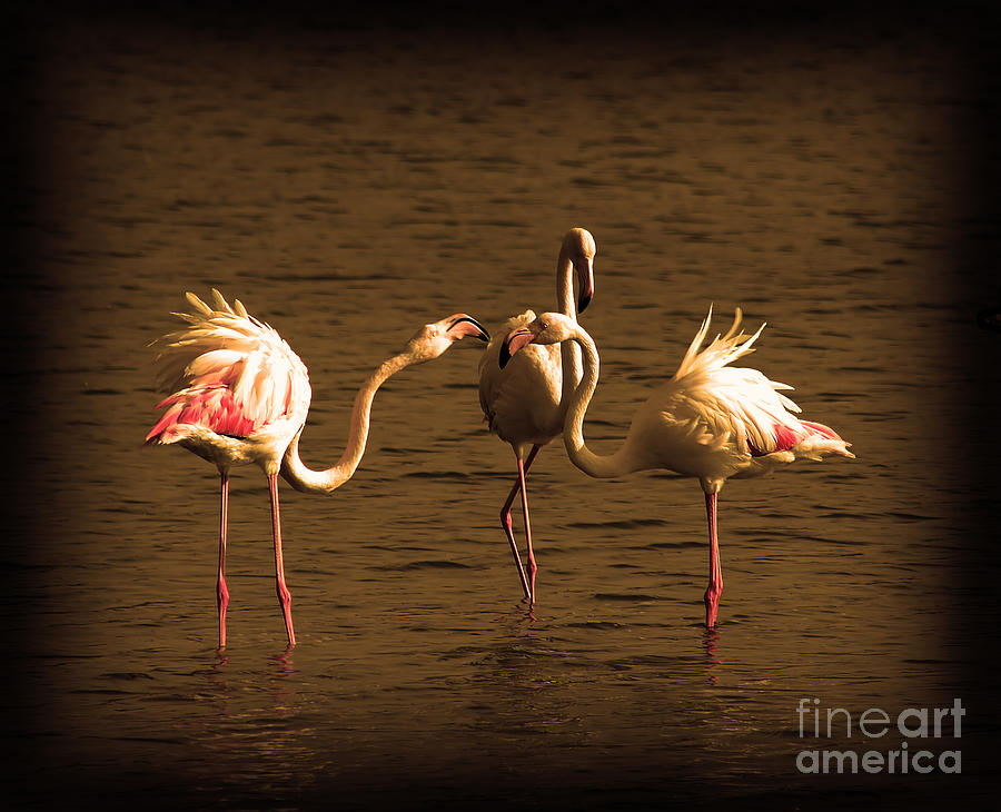 Landscape Photograph - Flamingos Argue by Radoslav Nedelchev