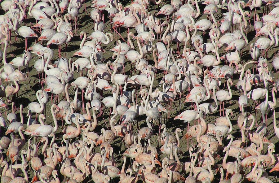 Horizontal Photograph - Flamingos by Original Artworks by Grooveworks (Flickr name - jules_art)
