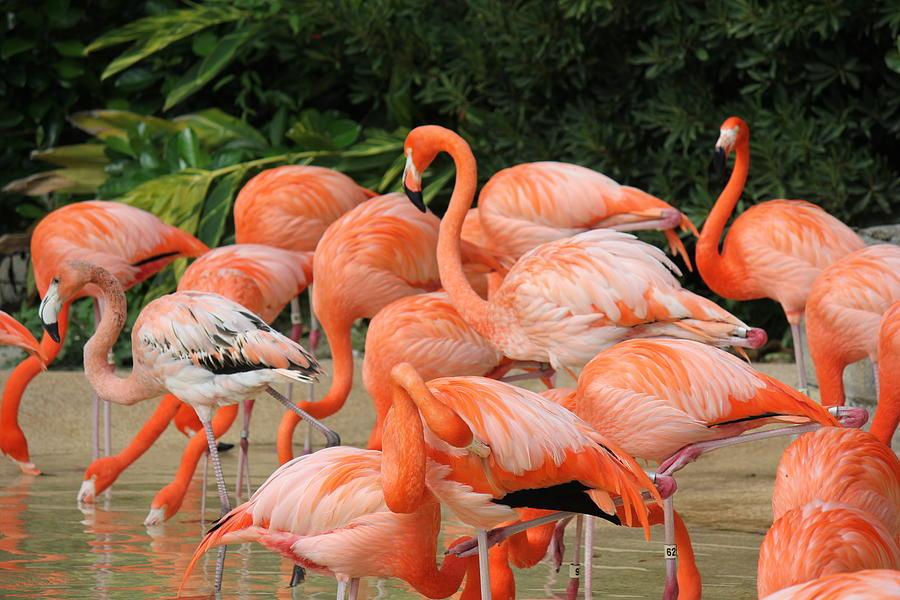 Lots Photograph - Flamingos2 by Shweta Singh