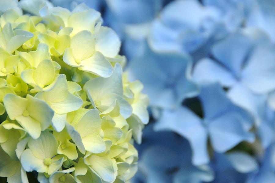 Hydrangea Photograph - Fleur II by George Crawford