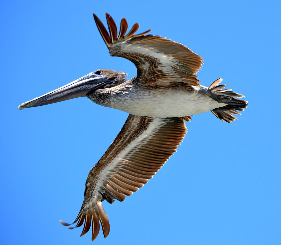 Pelican Photograph - Flight II by Brenda Alcorn