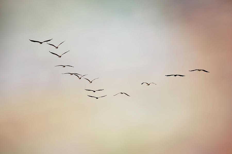 Horizontal Photograph - Flight Of Pelicans by Daniela Duncan