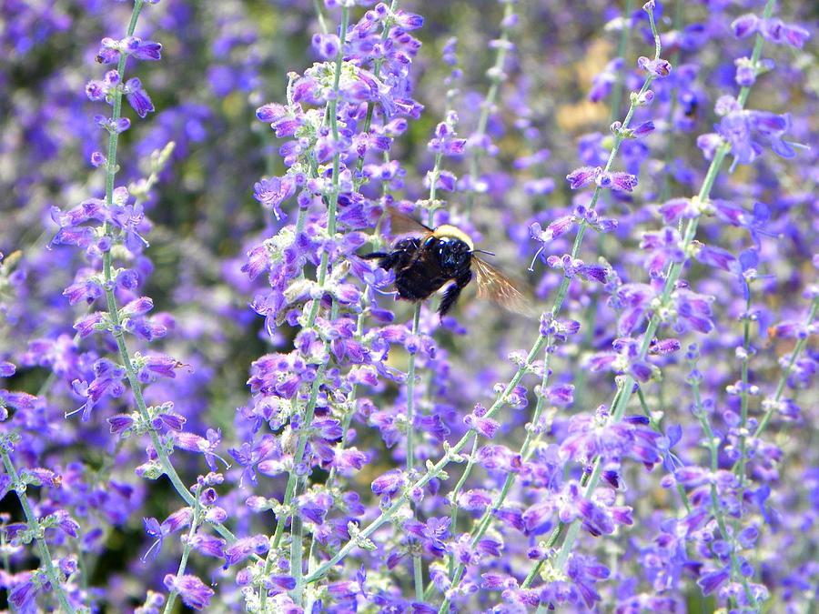 Flower Photograph - Flight Of The Bumble Bee by Rhiannon Hamm