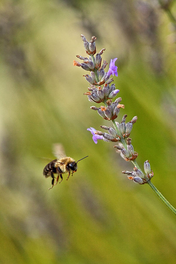 Bumble Bee Photograph - Flight Of The Bumble by Karol Livote