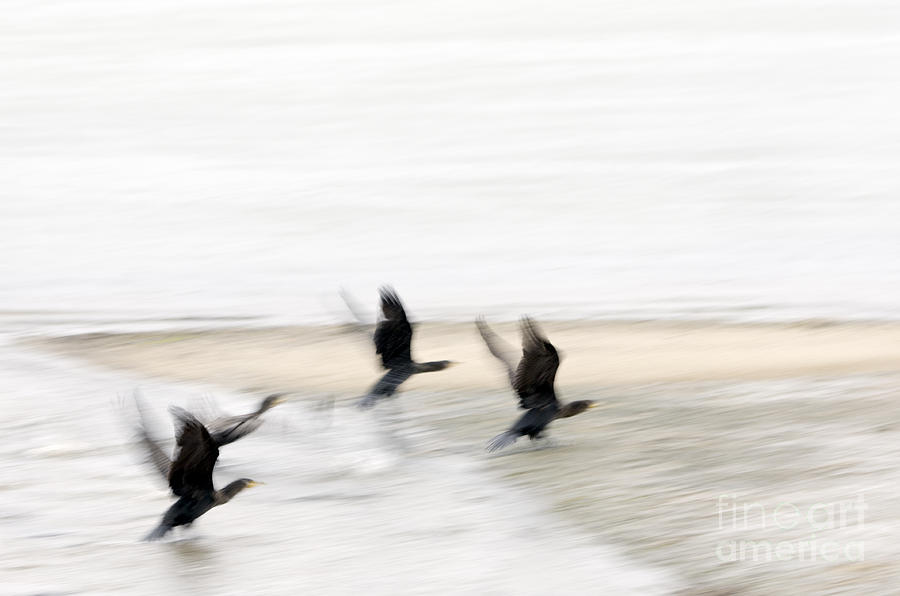 Abstract Photograph - Flight Of The Cormorants by David Lade