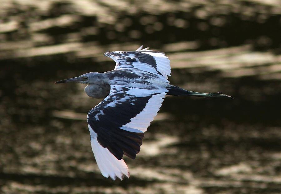 Little Blue Heron Photograph - Flight Of The Tweener by Phil Lanoue