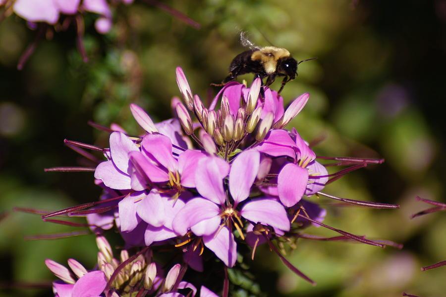 Bee. Summer Phlox Photograph - Flight Preperation by Bj Hodges