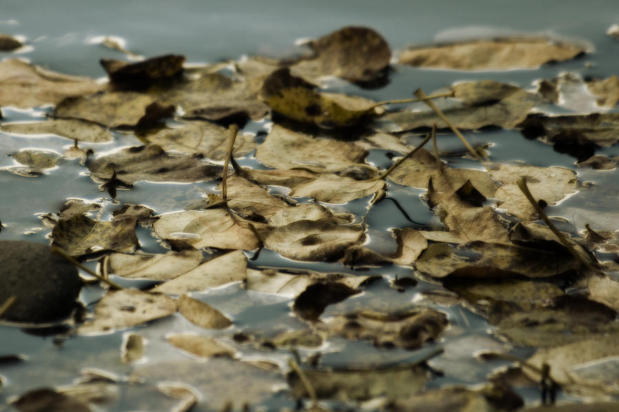 Photo Photograph - Floating Leaves by Bonnie Bruno