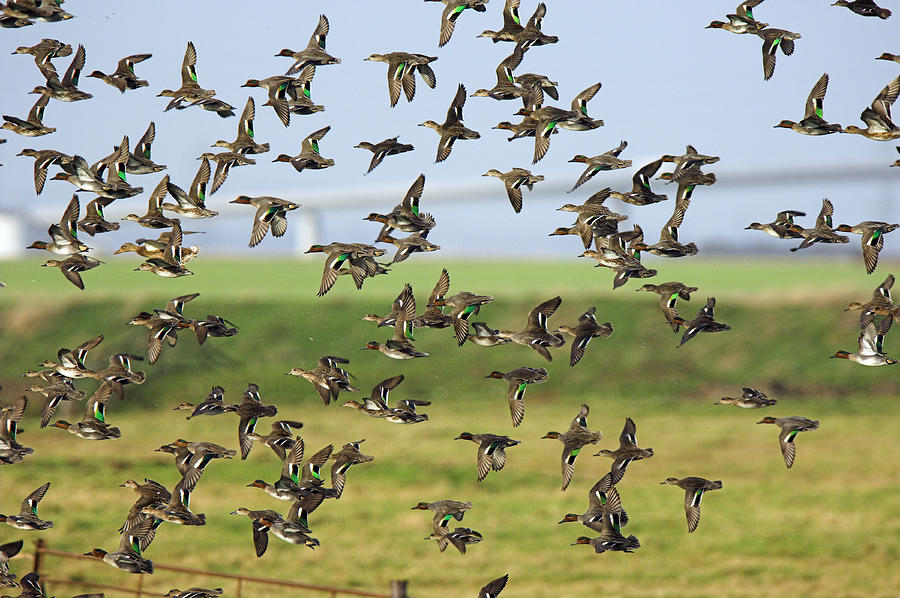 flock-of-common-teal-duncan-shaw.jpg